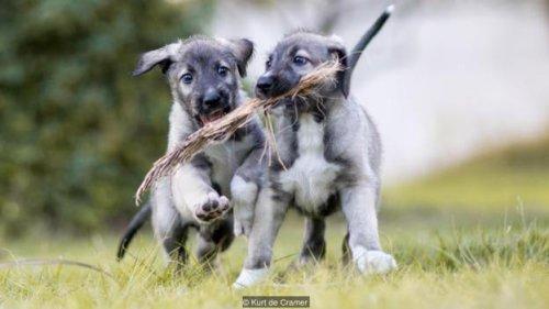 Conoce los primeros gemelos idénticos de perro