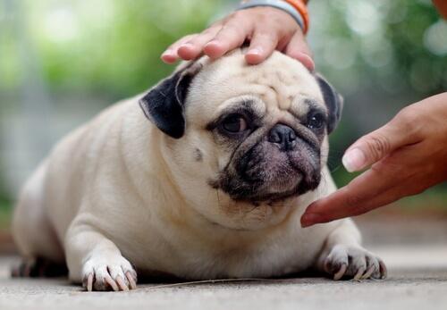 Los peligros del sobrepeso en perros