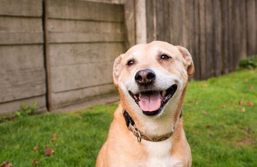 cão-sorrindo