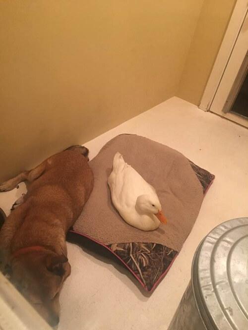 Perro deprimido con su amigo pato