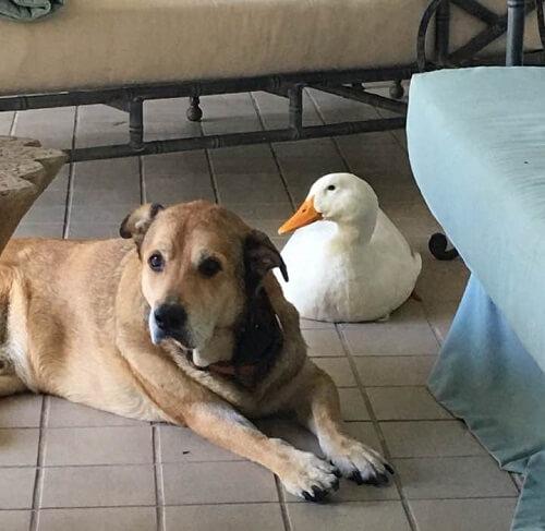 Un perro deprimido vuelve a estar alegre gracias a su nuevo amigo pato