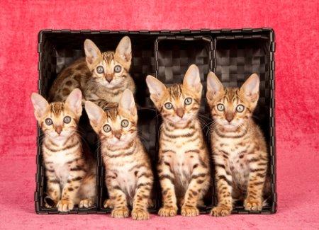raza-de-gatos-gato-bengala