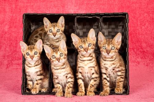 Cachorros de gato de bengala
