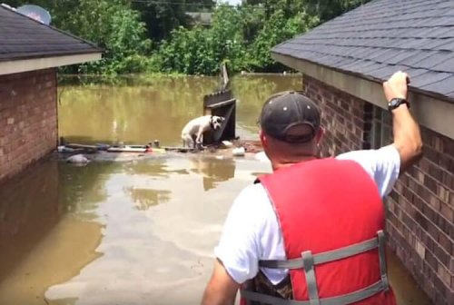 Man rescuing a Pit bull from a flood