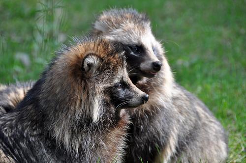 Perro mapache o Tanuki. Conoce todo sobre él