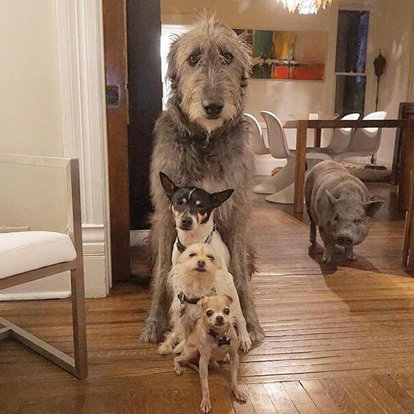 Adopción de perros y cerdo