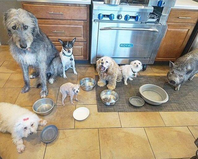 adopcion-de-perros-y-cerdo-4