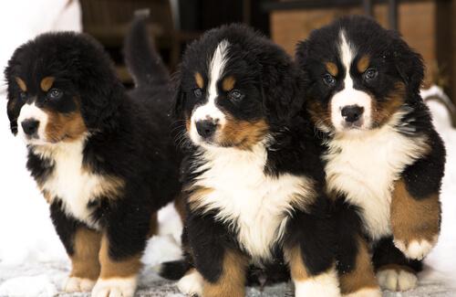 Cachorros de perros boyeros