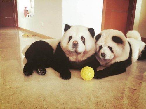 Fuente: Facebook de Panda Chow Chows