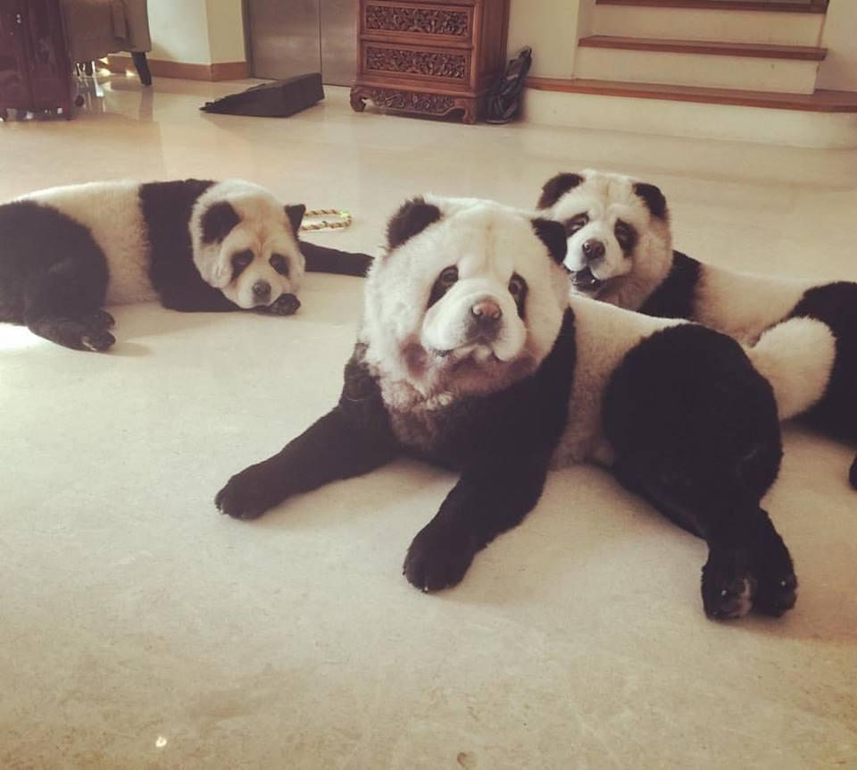 chow-chow-panda-3