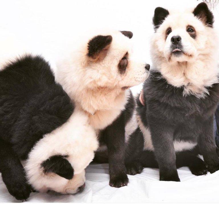 Chow chow panda. ¿Es un perro o es un panda?