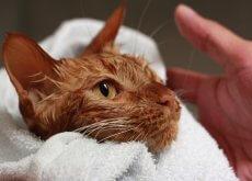 gato-goce-el-momento-del-bano