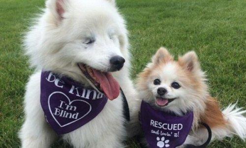 Una preciosa amistad entre Hoshi, un perro ciego y su perro guía Zen