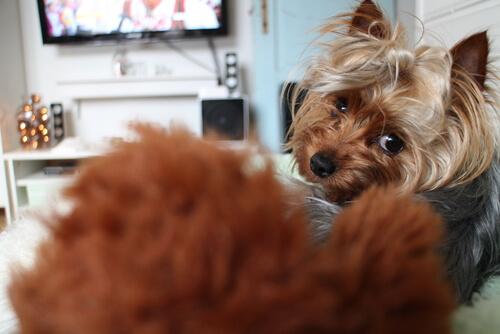 ¿Sabías que los perros también ven la tele?