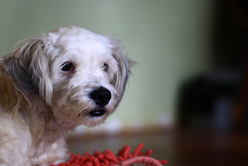 ¿Sabías que tu perro puede ser intolerante al gluten?