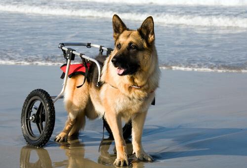 Perros en sillas de ruedas disfrutan de la playa