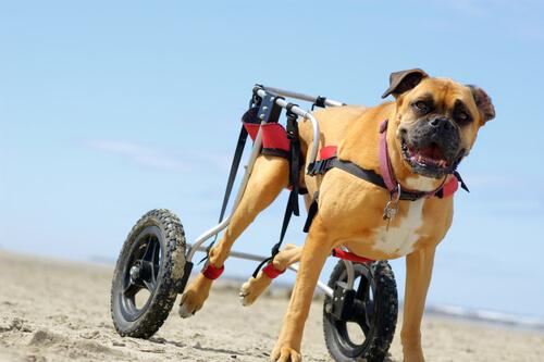perros-en-sillas-de-ruedas-3