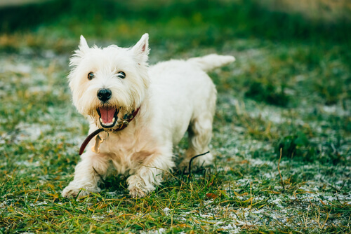 7 razas de perros que casi no sueltan pelo