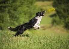 jugar frisbee con tu perro