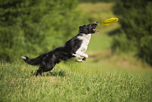 ¿Aún no has jugado al frisbee con tu perro? Conoce los beneficios