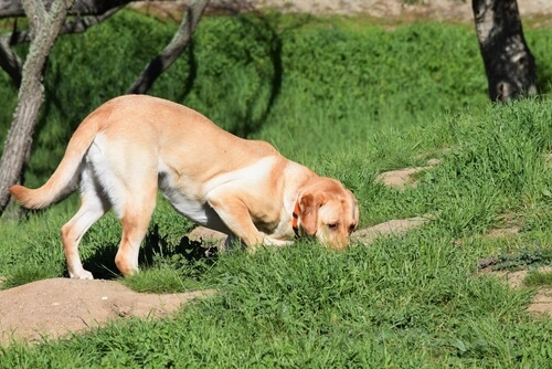 Cómo enseñar a tu perro a rastrear