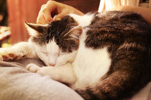 acariciar um gato