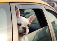 viaja-en-taxi-con-tu-perro