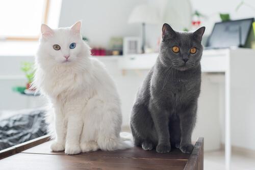 ¿Por qué mucha gente tiene alergia a los gatos?