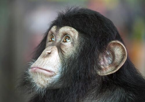 Perro o chimpancé, ¿cuál es más inteligente?