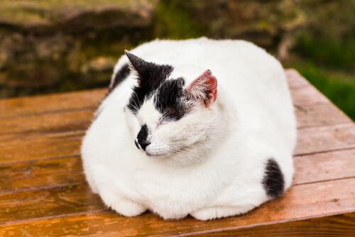 Gato obeso tumbado