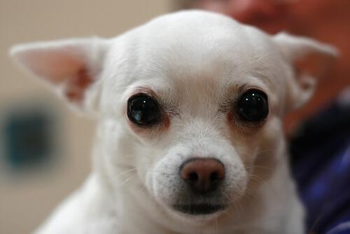 ¿Cómo limpiar las legañas de tu perro?