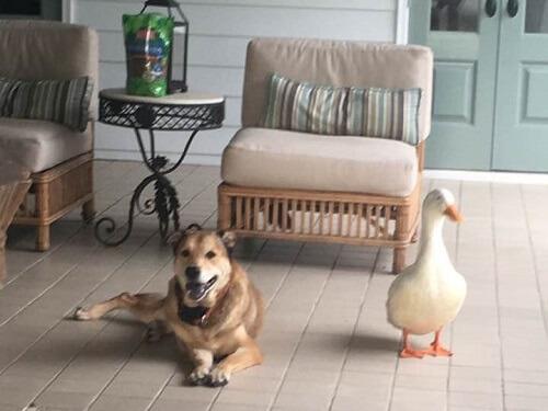 Pato quita la depresión a un perro con su amistad