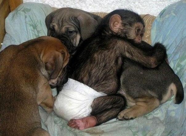 Perra que cuida a chimpancés huérfanos