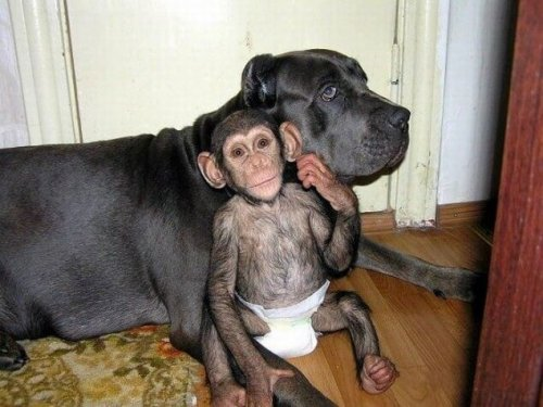 Conoce a la perra que cuida a chimpancés huérfanos
