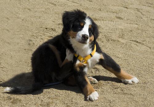 Precauciones mayores para perros con alergia a las pulgas