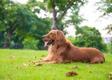 perro-de-raza-grande