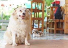 perro-sufre-artritis