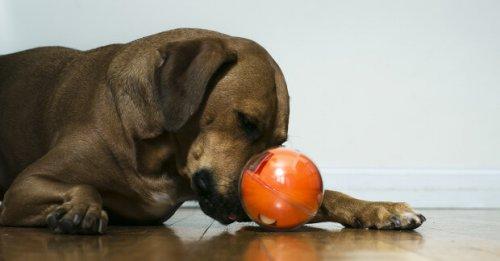 Playdate, el juguete de moda para canes