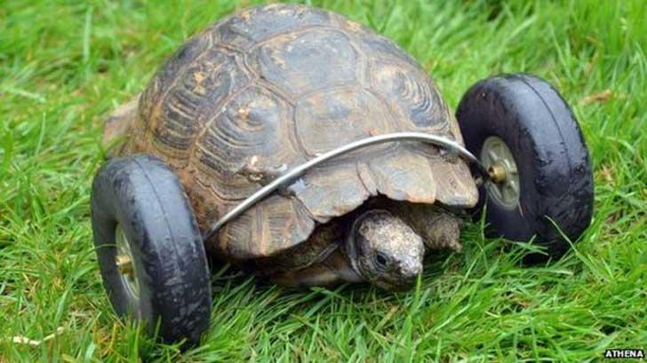 tortuga-con-protesis-de-ruedas-2