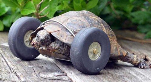 Conoce a la tortuga que tiene prótesis de ruedas