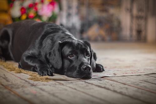Cómo entender que tu perro está envejeciendo