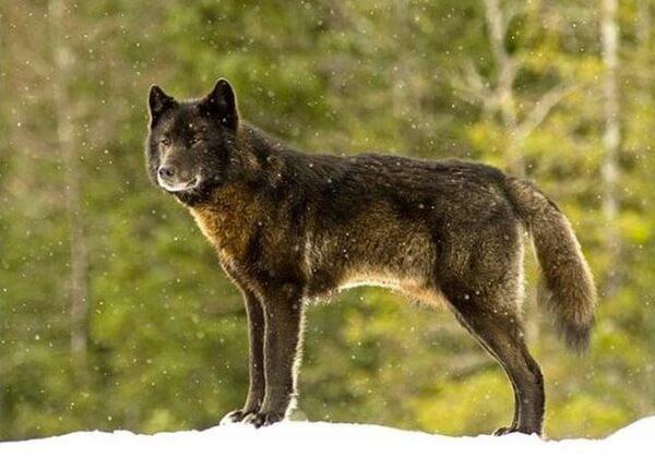 amistad-entre-un-lobo-y-un-perro-2
