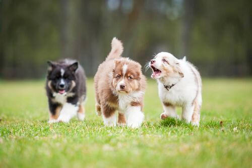 Cachorros caminando por el cesped