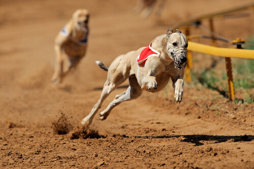 Greyhound racing on the track