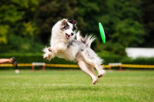 Perro saltando con un frisbee