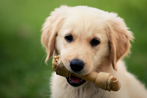 Huesos para los perros, ¿sí o no?