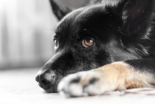 nistagmo en el perro