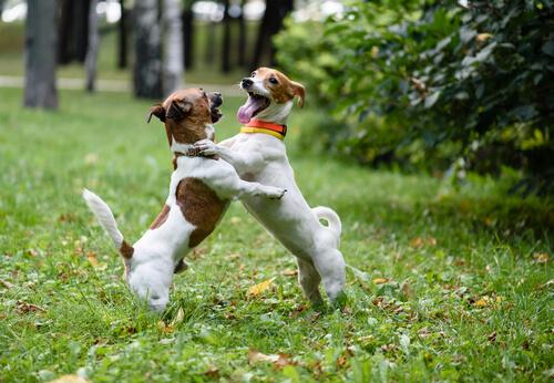 Cómo detener correctamente una pelea de perros
