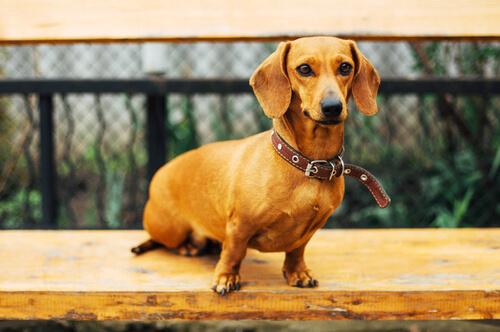 Dachshund pelo de alambre es un perro curioso y muy divertido