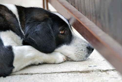 perro con ataques de panico
